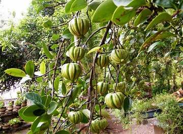 The Ideal Dosage of Garcinia Cambogia